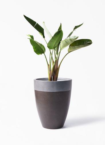 観葉植物 オーガスタ 8号 ファイバーストーン カプリ マッドブラウン 付き