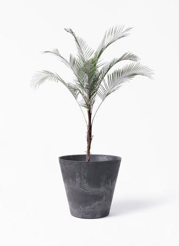 観葉植物 ヒメココス 8号 アートストーン ラウンド ブラック 付き