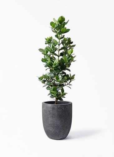 観葉植物 クルシア ロゼア プリンセス 8号 フォリオアルトエッグ ブラックウォッシュ 付き