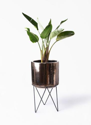 観葉植物 オーガスタ 8号 ビトロ エンデカ ゴールド アイアンポットスタンド ブラック  付き
