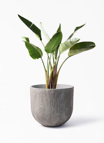 観葉植物 オーガスタ 8号 バル ユーポット アンティークセメント 付き