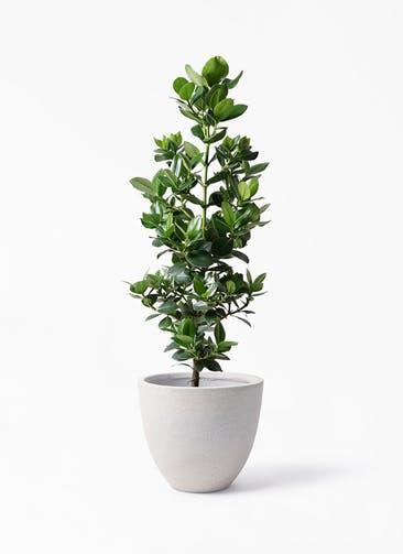 観葉植物 クルシア ロゼア プリンセス 8号 スタウト アッシュラウンド 付き