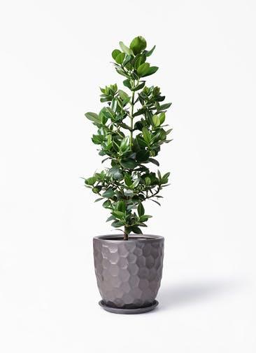 観葉植物 クルシア ロゼア プリンセス 8号 サンタクルストール ブロンズ 付き