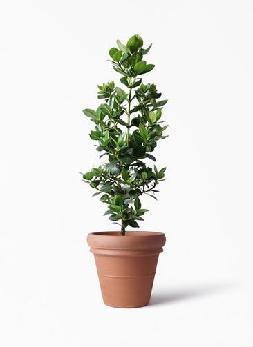 観葉植物 クルシア ロゼア プリンセス 8号 トスカーナ リムポット 付き