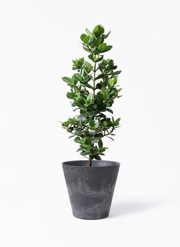 観葉植物 クルシア ロゼア プリンセス 8号 アートストーン ラウンド ブラック 付き