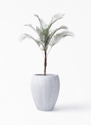 観葉植物 ヒメココス 8号 コーテス ジャー ホワイトウォッシュ 付き