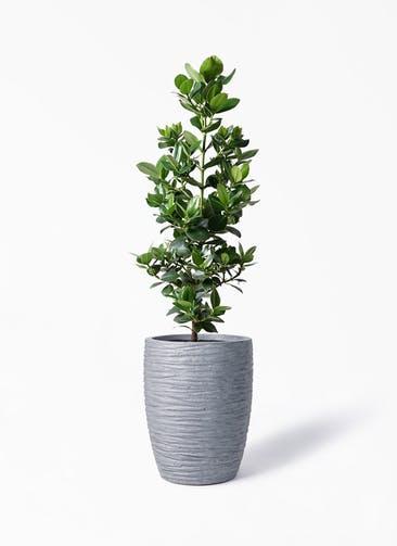 観葉植物 クルシア ロゼア プリンセス 8号 サン ミドル リッジ 灰  付き