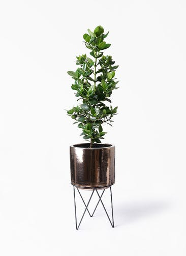 観葉植物 クルシア ロゼア プリンセス 8号 ビトロ エンデカ ゴールド アイアンポットスタンド ブラック  付き