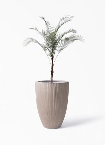 観葉植物 ヒメココス 8号 リブラ モノ ブラウン 付き