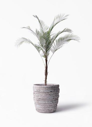 観葉植物 ヒメココス 8号 凛(りん)ラージS  付き