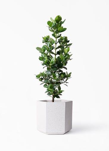 観葉植物 クルシア ロゼア プリンセス 8号 コーテス ヘックス ホワイトテラゾ 付き