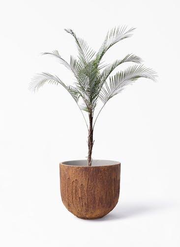 観葉植物 ヒメココス 8号 バル ユーポット ラスティ  付き