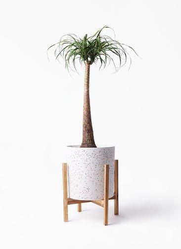観葉植物 トックリラン 8号 ホルスト シリンダー スパークルホワイト ウッドポットスタンド 付き