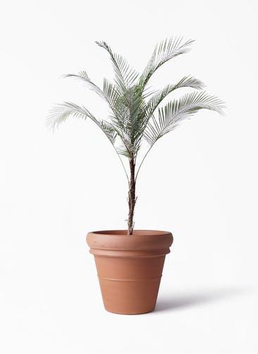 観葉植物 ヒメココス 8号 トスカーナ リムポット 付き