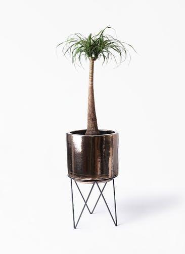 観葉植物 トックリラン 8号 ビトロ エンデカ ゴールド アイアンポットスタンド ブラック  付き