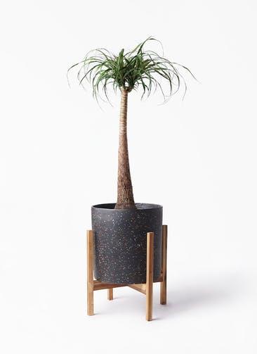 観葉植物 トックリラン 8号 ホルスト シリンダー スパークルブラック ウッドポットスタンド 付き