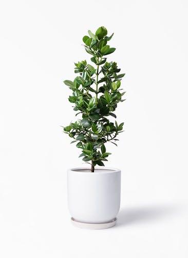 観葉植物 クルシア ロゼア プリンセス 8号 アファール 白 付き