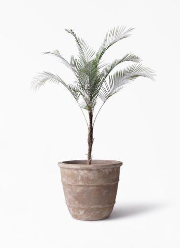 観葉植物 ヒメココス 8号 テラアストラ シリウス 付き