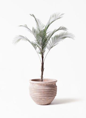 観葉植物 ヒメココス 8号 テラアストラ リゲル 赤茶色 付き