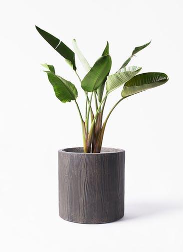 観葉植物 オーガスタ 8号 アルファ シリンダープランター ウッド 付き