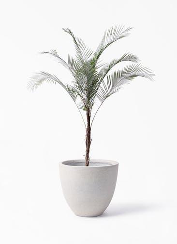観葉植物 ヒメココス 8号 スタウト アッシュラウンド 付き
