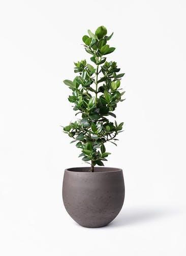観葉植物 クルシア ロゼア プリンセス 8号 アディラボウル 濃茶 付き