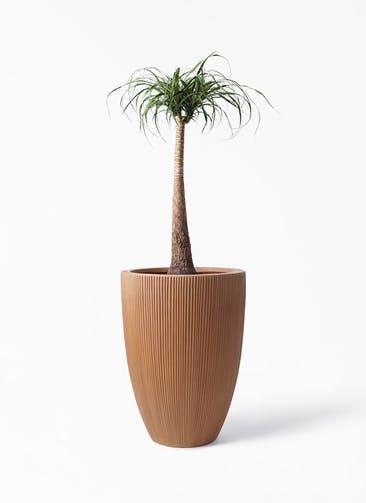 観葉植物 トックリラン 8号 リブラ モノ ラスティ 付き