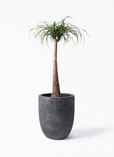 観葉植物 トックリラン 8号 フォリオアルトエッグ ブラックウォッシュ 付き