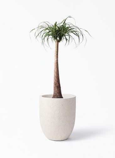 観葉植物 トックリラン 8号 フォリオアルトエッグ クリーム 付き