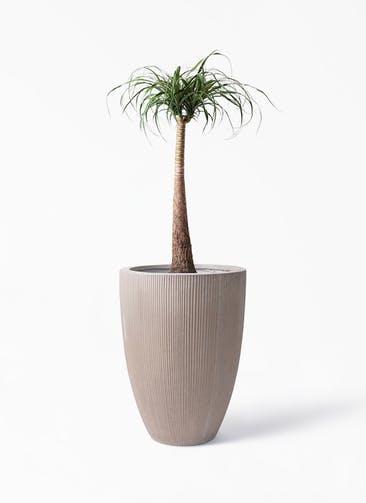 観葉植物 トックリラン 8号 リブラ モノ ブラウン 付き