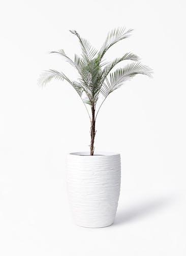 観葉植物 ヒメココス 8号 サン ミドル リッジ 白 付き