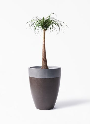 観葉植物 トックリラン 8号 ファイバーストーン カプリ マッドブラウン 付き