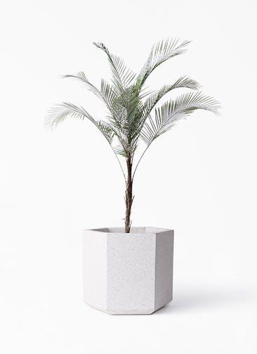 観葉植物 ヒメココス 8号 コーテス ヘックス ホワイトテラゾ 付き