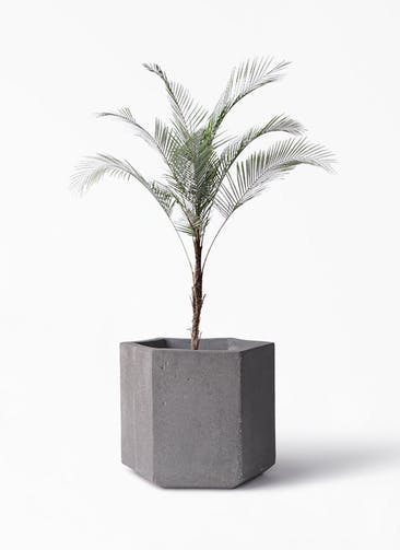 観葉植物 ヒメココス 8号 コーテス ヘックス 灰 付き