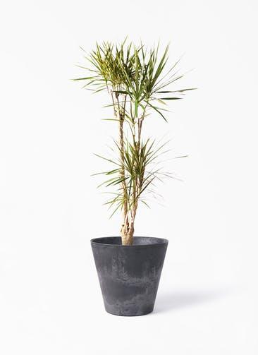 観葉植物 ドラセナ コンシンネ 8号 寄せ アートストーン ラウンド ブラック 付き