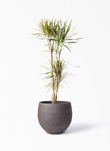 観葉植物 ドラセナ コンシンネ 8号 寄せ アディラボウル 濃茶 付き