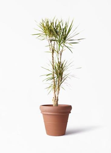 観葉植物 ドラセナ コンシンネ 8号 寄せ トスカーナ リムポット 付き