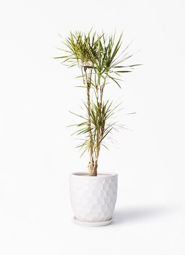 観葉植物 ドラセナ コンシンネ 8号 寄せ サンタクルストール 白 付き