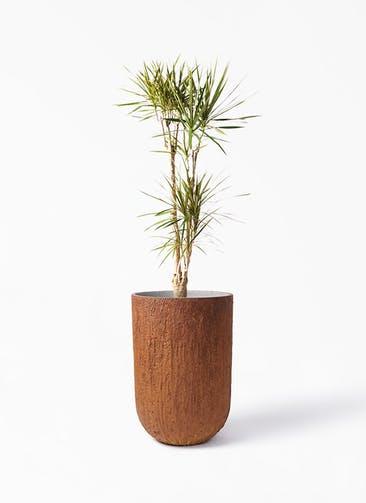 観葉植物 ドラセナ コンシンネ 8号 寄せ バル トール ラスティ 付き