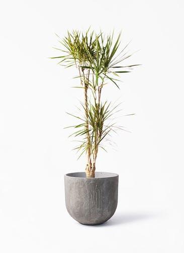 観葉植物 ドラセナ コンシンネ 8号 寄せ バル ユーポット アンティークセメント 付き