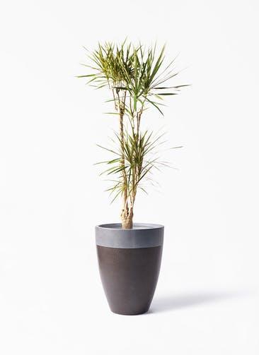 観葉植物 ドラセナ コンシンネ 8号 寄せ ファイバーストーン カプリ マッドブラウン 付き