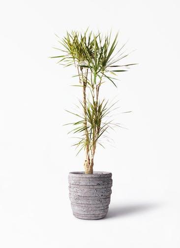 観葉植物 ドラセナ コンシンネ 8号 寄せ 凛(りん)ラージS  付き