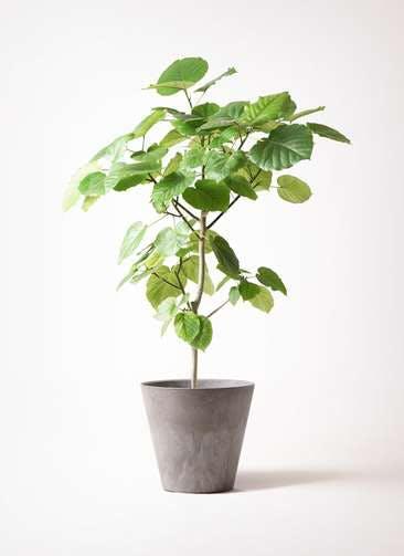 観葉植物 フィカス ウンベラータ 8号 ノーマル アートストーン ラウンド グレー 付き
