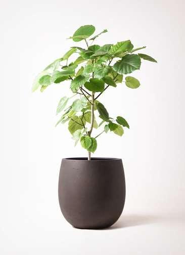 観葉植物 フィカス ウンベラータ 8号 ノーマル テラニアス バルーン アンティークブラウン 付き