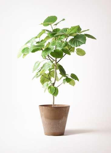 観葉植物 フィカス ウンベラータ 8号 ノーマル アートストーン ラウンド ベージュ 付き