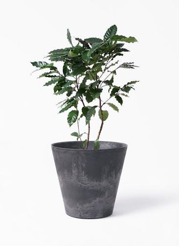 観葉植物 コーヒーの木 8号 アートストーン ラウンド ブラック 付き