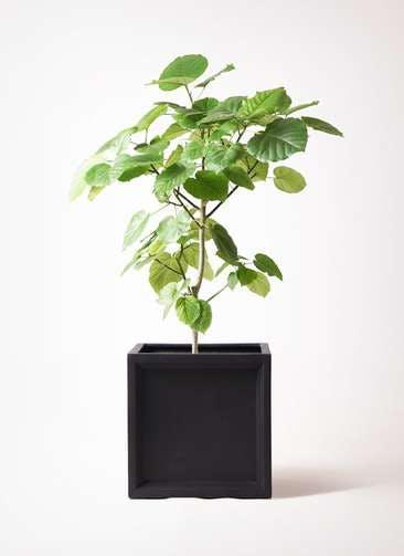 観葉植物 フィカス ウンベラータ 8号 ノーマル ブリティッシュキューブ 付き