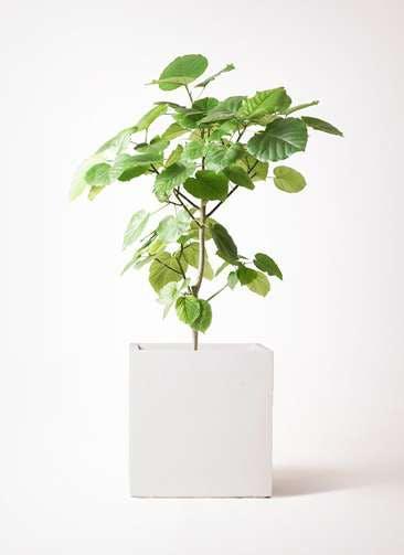 観葉植物 フィカス ウンベラータ 8号 ノーマル バスク キューブ 付き