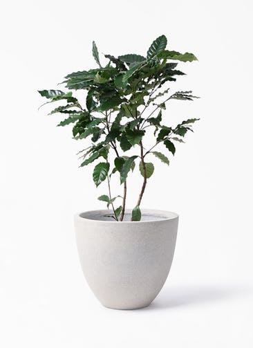 観葉植物 コーヒーの木 8号 スタウト アッシュラウンド 付き