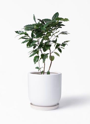 観葉植物 コーヒーの木 8号 アファール 白 付き